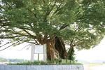 犬上郡多賀町 飯盛木