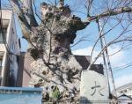大津市 犬塚の欅